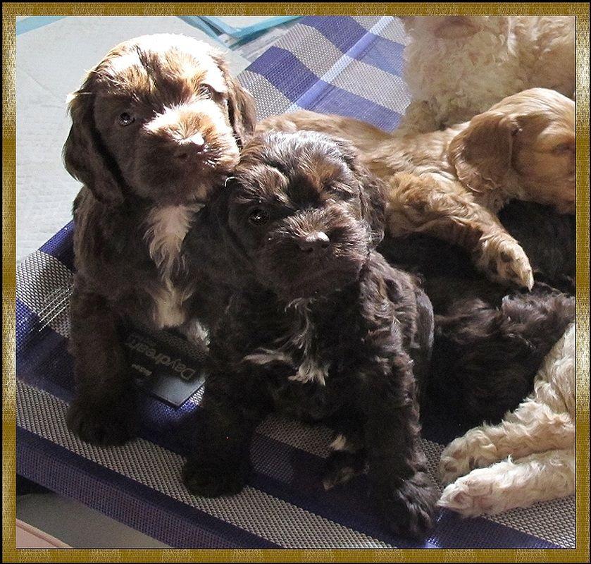 Rutlands Australian Cobberdogs Australian Labradoodle Dog Allergies Labradoodle