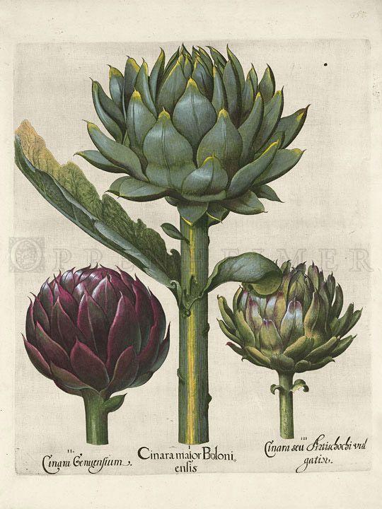 Basilius Besler 1613  -  Joel Oppenheimer Audubon and Natural History Prints