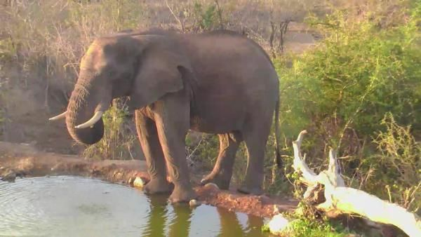 | Africam Elephant at Naledi - Nov 18 2015 - 5:39pm