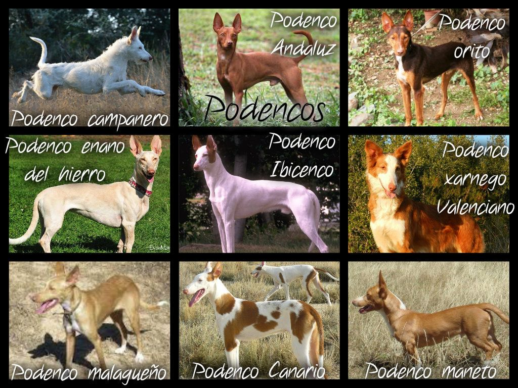 Podencos! These are Spanish hunting dogs of sighthound type, though they do not hunt by sight only. The most well known breed is the podenco Ibicenco, better known as the Ibizan hound. Most podencos are very rare, even in Spain. Many hunters breed their podencos indescriminately, caring only about hunting ability, not breed purity. This is why most of the time you can't label a podenco by breed. But because it's fun and interesting, here are nine podenco breeds anyway!