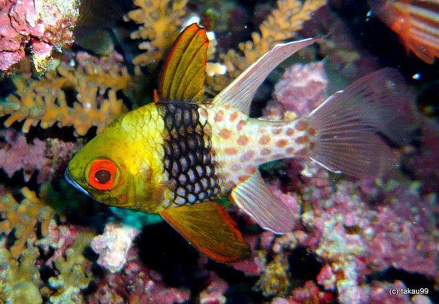 Pajama Cardinalfish Panglao Island Philippines Sea Creatures Fish Pet Under The Sea