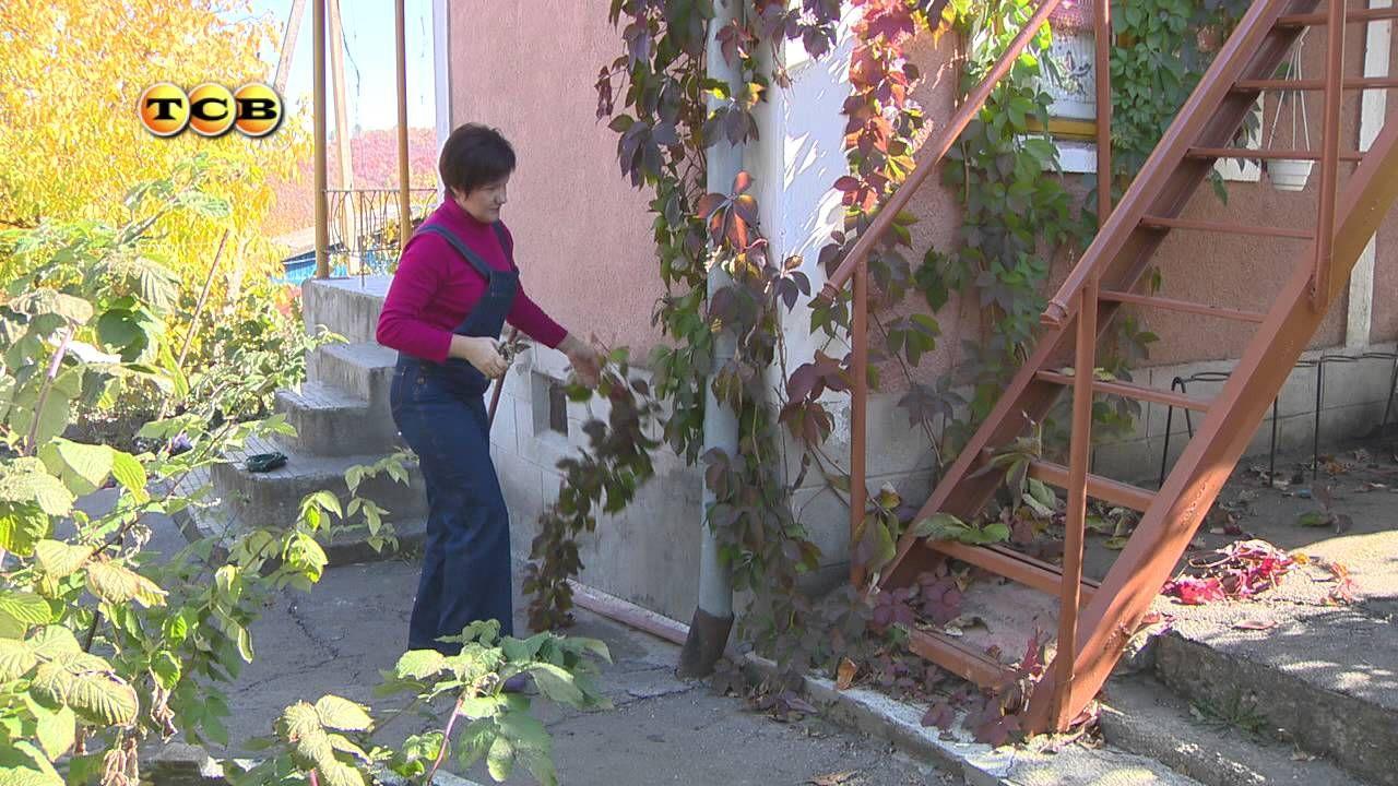 как правильно посадить девичий виноград