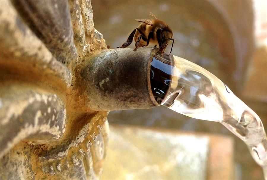 A honeybee alights on top of a spigot mounted on a fountain and sucks up some water on the campus of the Southeastern Baptist Theological Seminary in Wake Forest, North Carolina, on July 1, 2012.