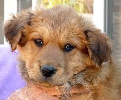 Image Result For Airedale Golden Retriever Mix Golden Retriever Mix Puppies Golden Retriever Mix Golden Retriever German Shepherd