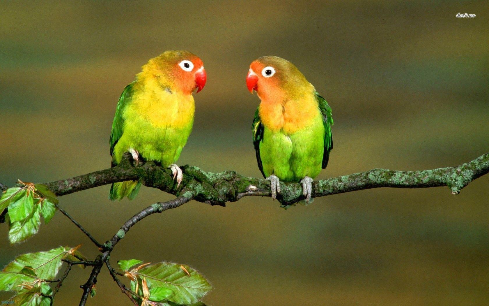 Love Birds Wallpaper Full HD