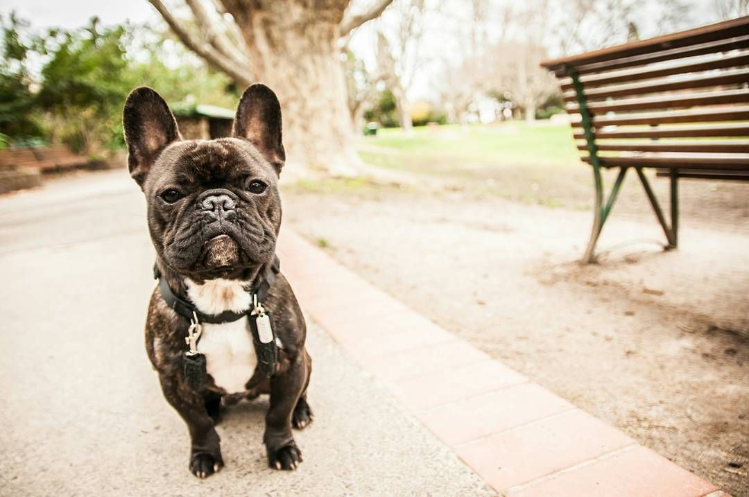 1 2 Buster Is A Purebred Frenchie I Got Him From Nsw When He