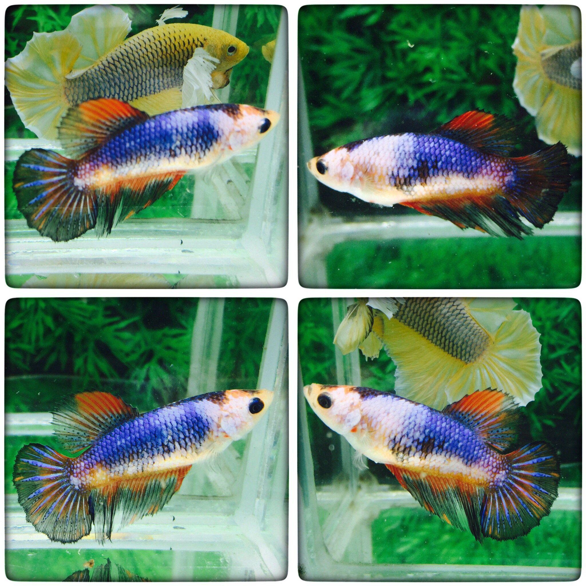 fwbettashm1483884007 - +++Blue black and orange-HM-Female+++ ...
