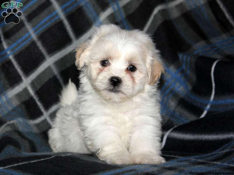 Dina shichon puppy for sale in lancaster pa shichon