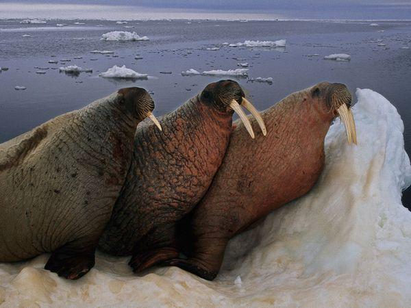 walrus sex pics