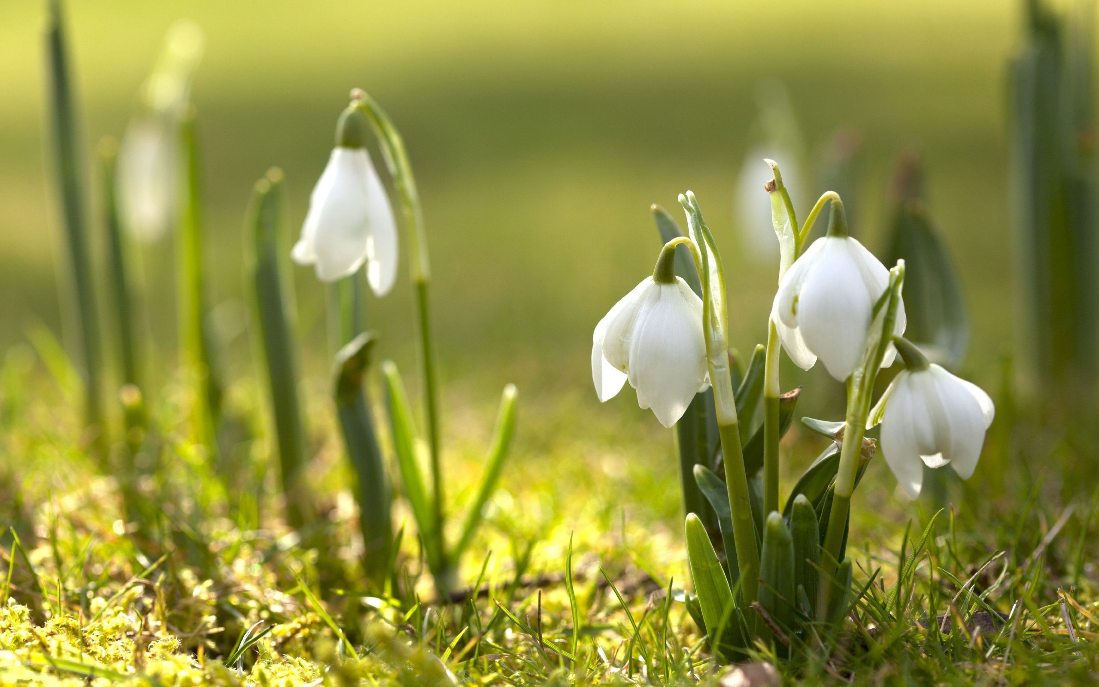 Spring Nature Snowdrops White Flowers Wallpaper And Background Early Spring Flowers Spring Flowers Wallpaper Spring Flowers