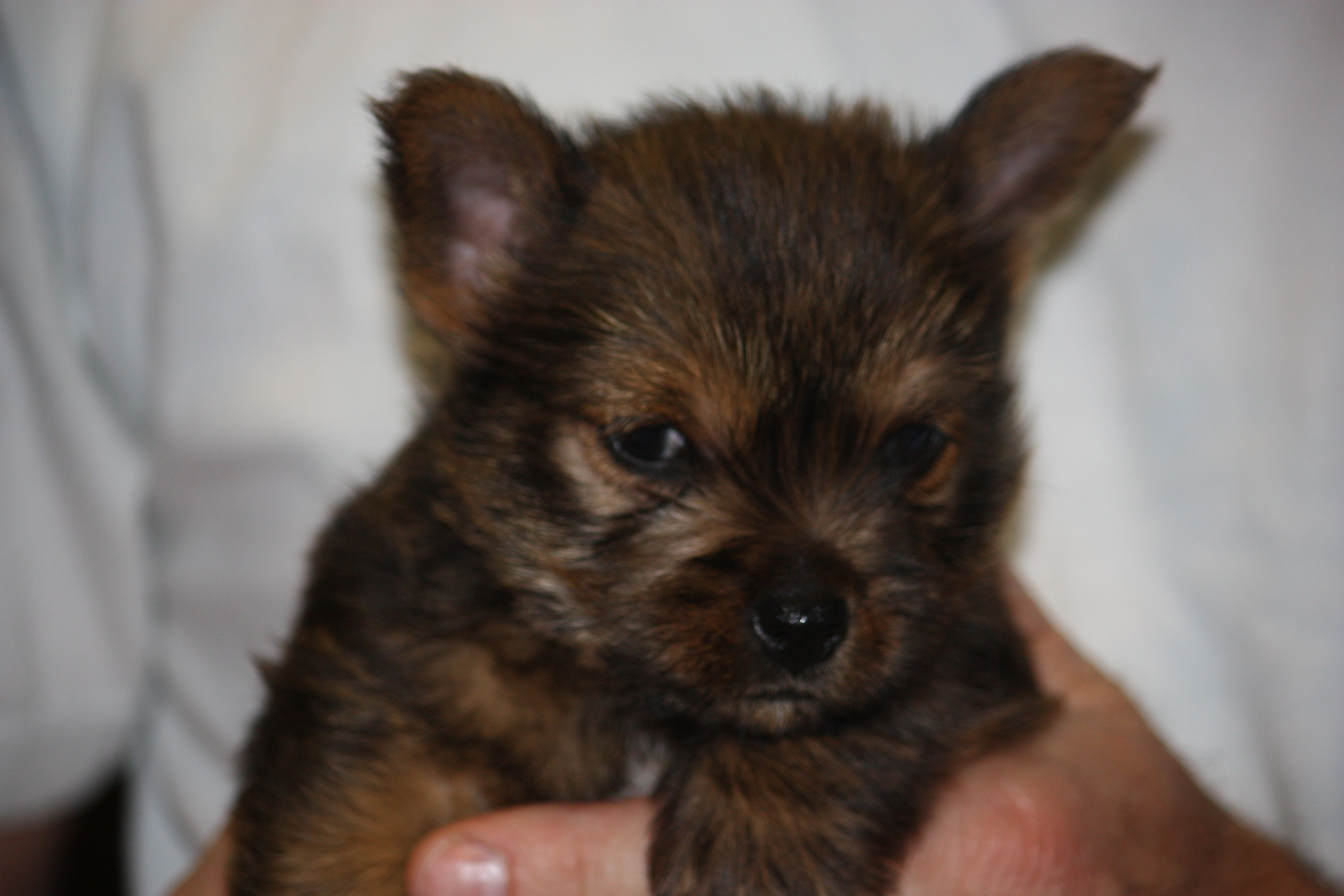 Puppies for sale pittsburgh area