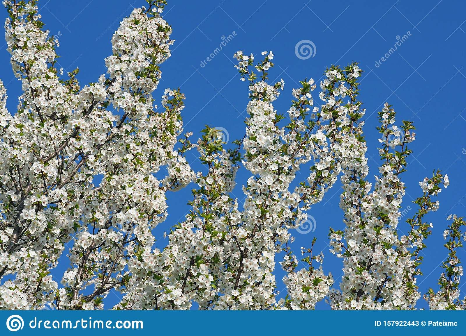 Photo About Cherry Blossom Tree With Blossoming White Flowers And Clear Blue Sky During Springtime On A Sunny Cherry Blossom Tree Blossom Trees Clear Blue Sky