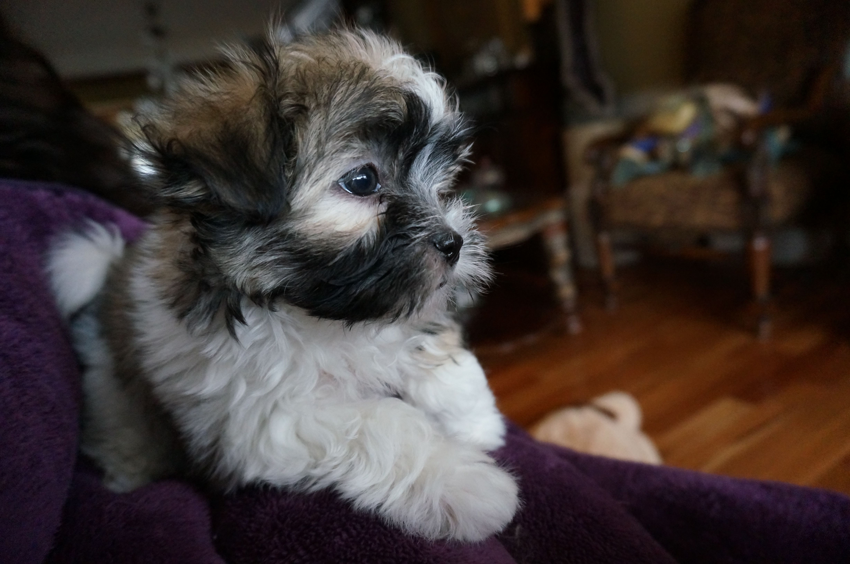 Rare Gem Koda mushy gushy MiKi puppy! Puppies for sale