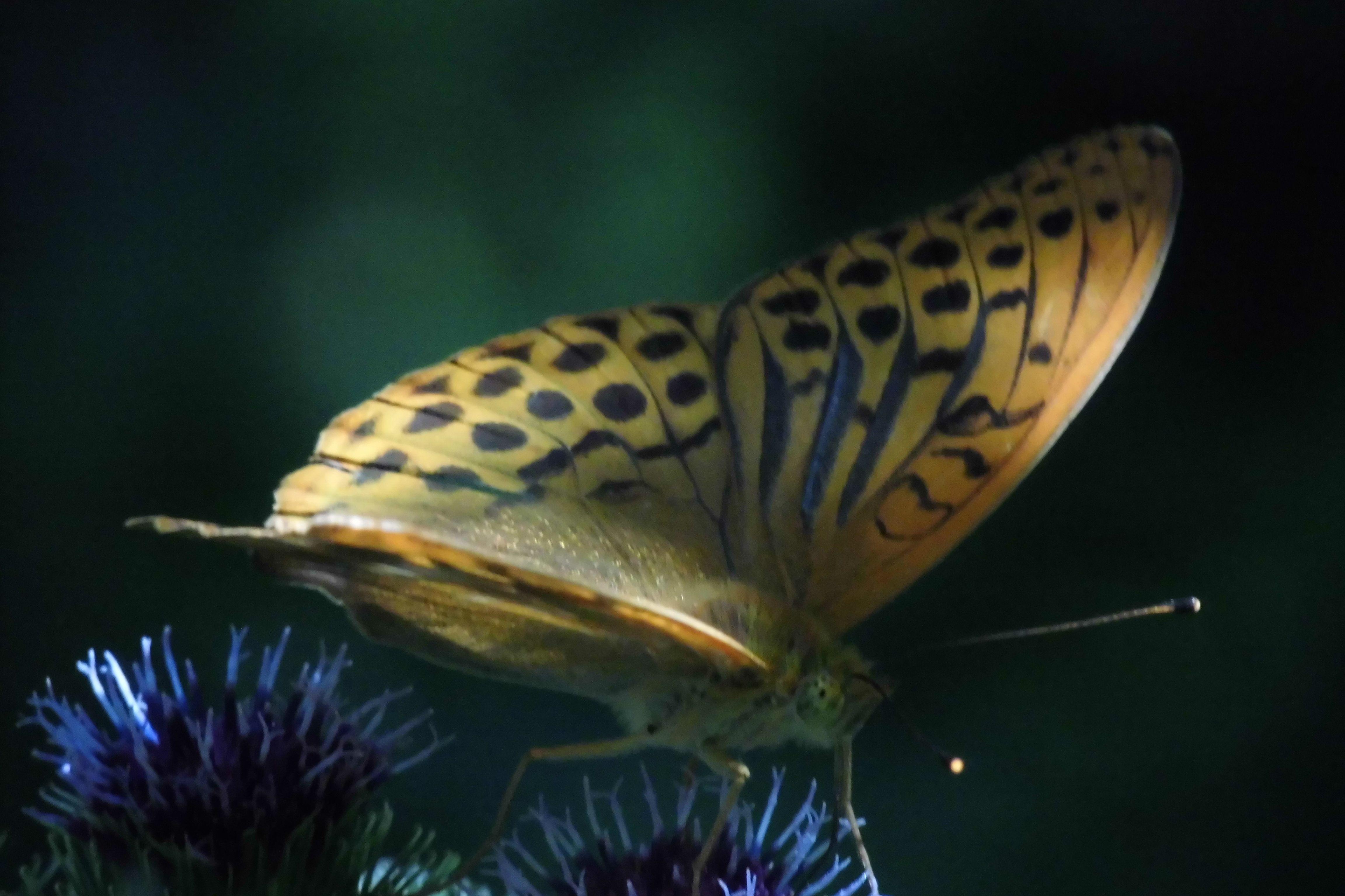 Kaisermantel 4 Schmetterling