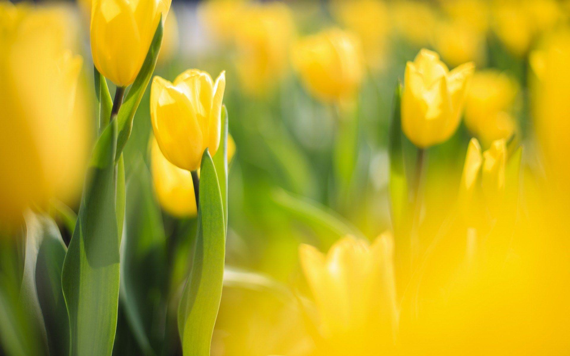 spring flowers yellow tulips Laleler