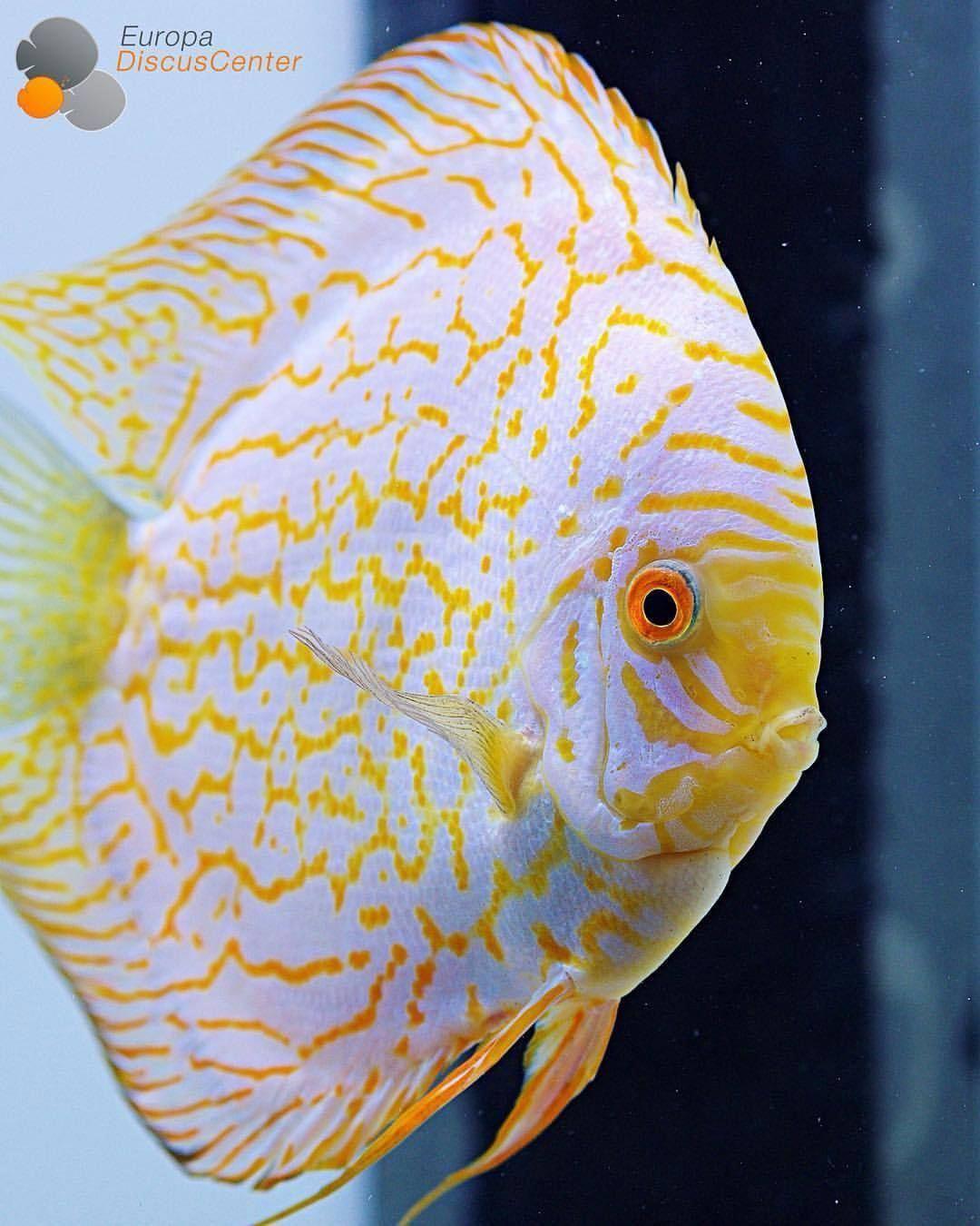 Golden Checkerboard Pigeon Discus Male Discus Diskus Diskusfische Aquarium Symphysodon Tropicalfish Discus Aquarium Fish Discus Fish Tropical Fish