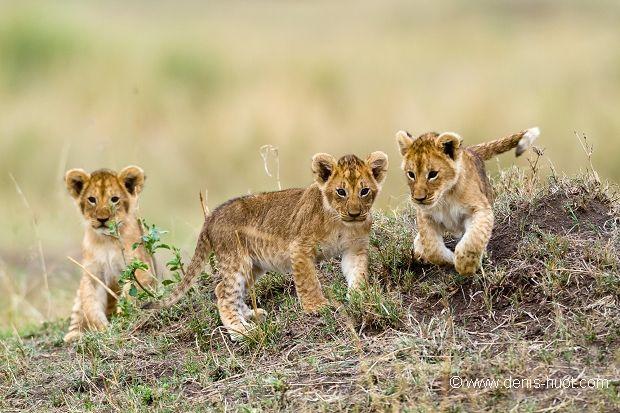 Christine et MichelDenis Huotphotographes animaliers – romping little lion cubs, Masai-Mara Reserve, Kenya