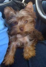 Cathy S Gorgeous Yorkies Pocket Yorkie Terrier Yorkie Yorkie