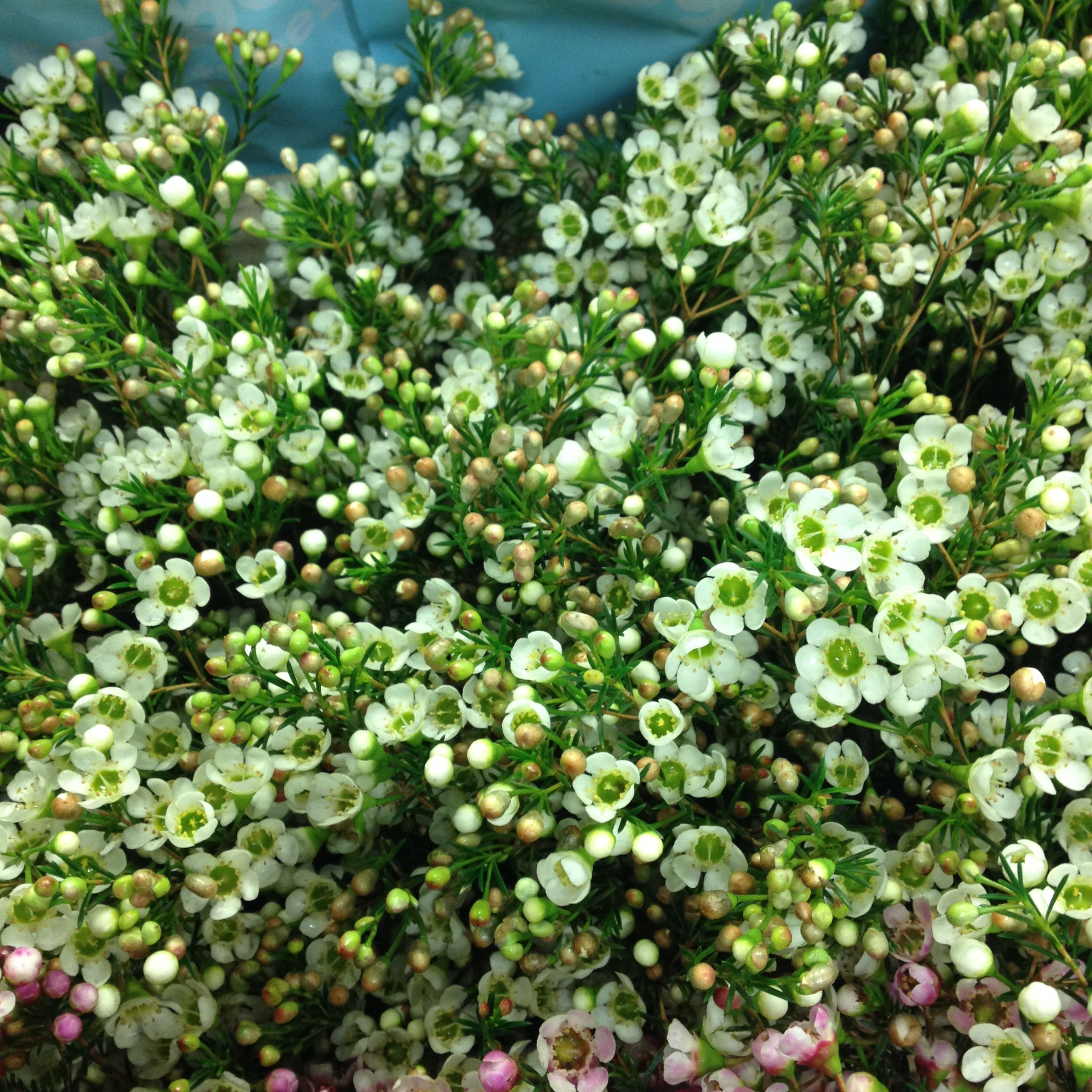 White Waxflower Called Crystal Pearl Sold In Bunches Of 5 Stems