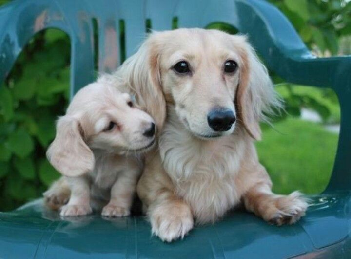 Rare Colored Doxies English Cream My Next Color Long Haired