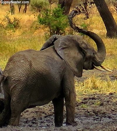 pin by the gypsynesters on into africa africa, tanzania, east africaan elephant slings mud in tarangire national park, tanzania, africa see more