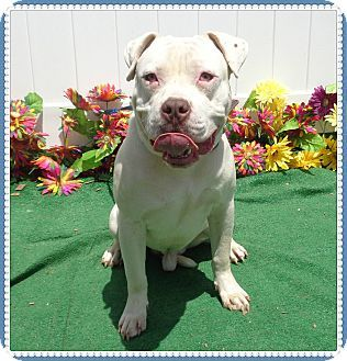 Pin By Valery Burks On Have A Heart Pitbull Terrier Pitbulls Dogs