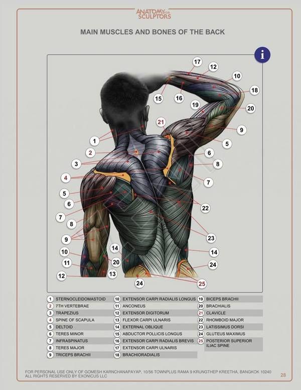 Pin von Sebastian auf anatomy   Pinterest