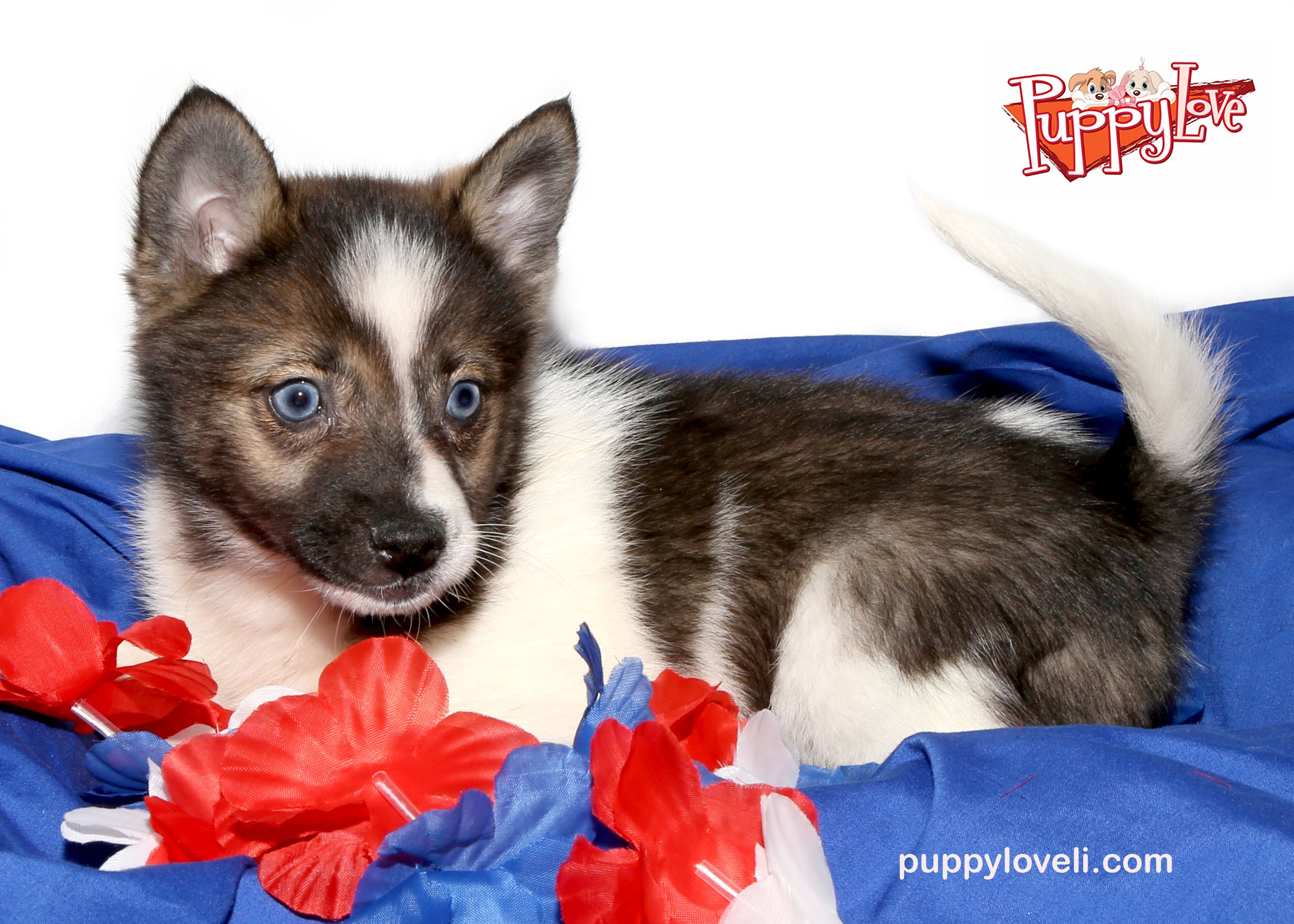 Blue eyed Pomsky for sale on Long Island at Puppy Love in