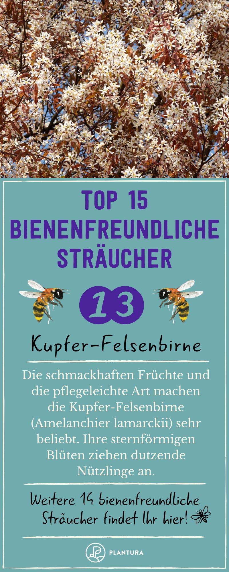 Bienenfreundliche Straucher Top 15 Bienenstraucher Bienenfreundliche Straucher Felsenbirne Kupfer Felsenbirne