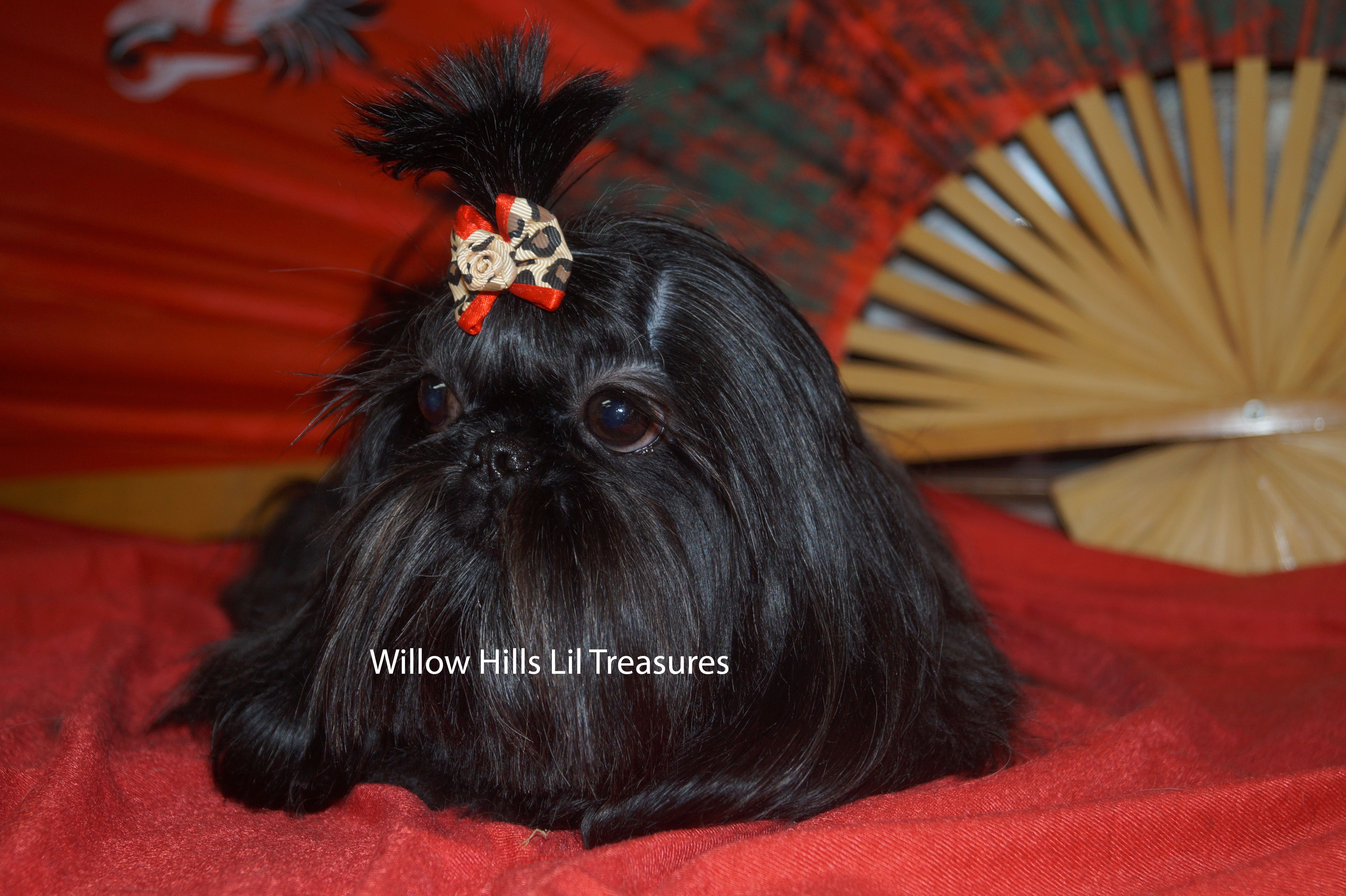 Willow Hills Lil Treasures Raises Imperial Shih Tzu Tiny Purse Puppies For Sale Willow Hill Shih Tzu Puppy Imperial Shih Tzu