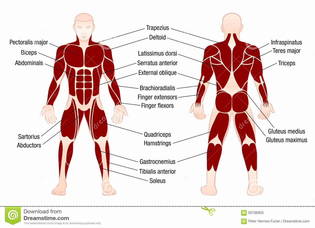 Muscle Anatomy Chart Fresh Muscles Chart Description Muscular Body Man Stock Vector In 2020 Human Body Muscles Muscle Diagram Body Muscle Chart