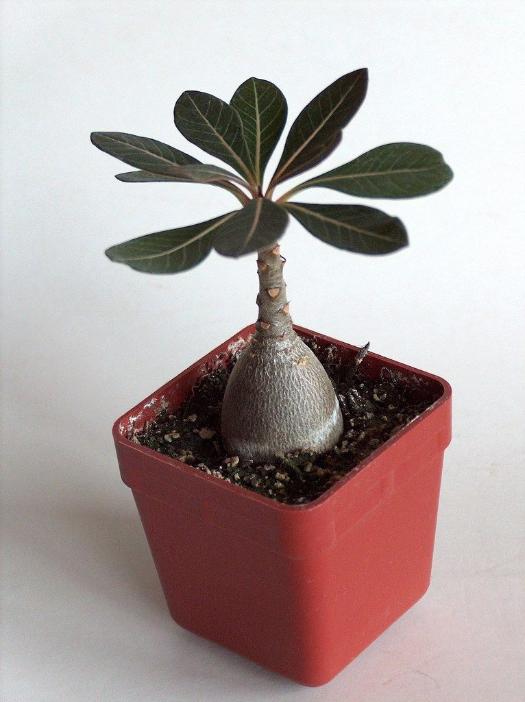 Adenium Socotranum Most Beautiful Cactus Cactus Terrarium