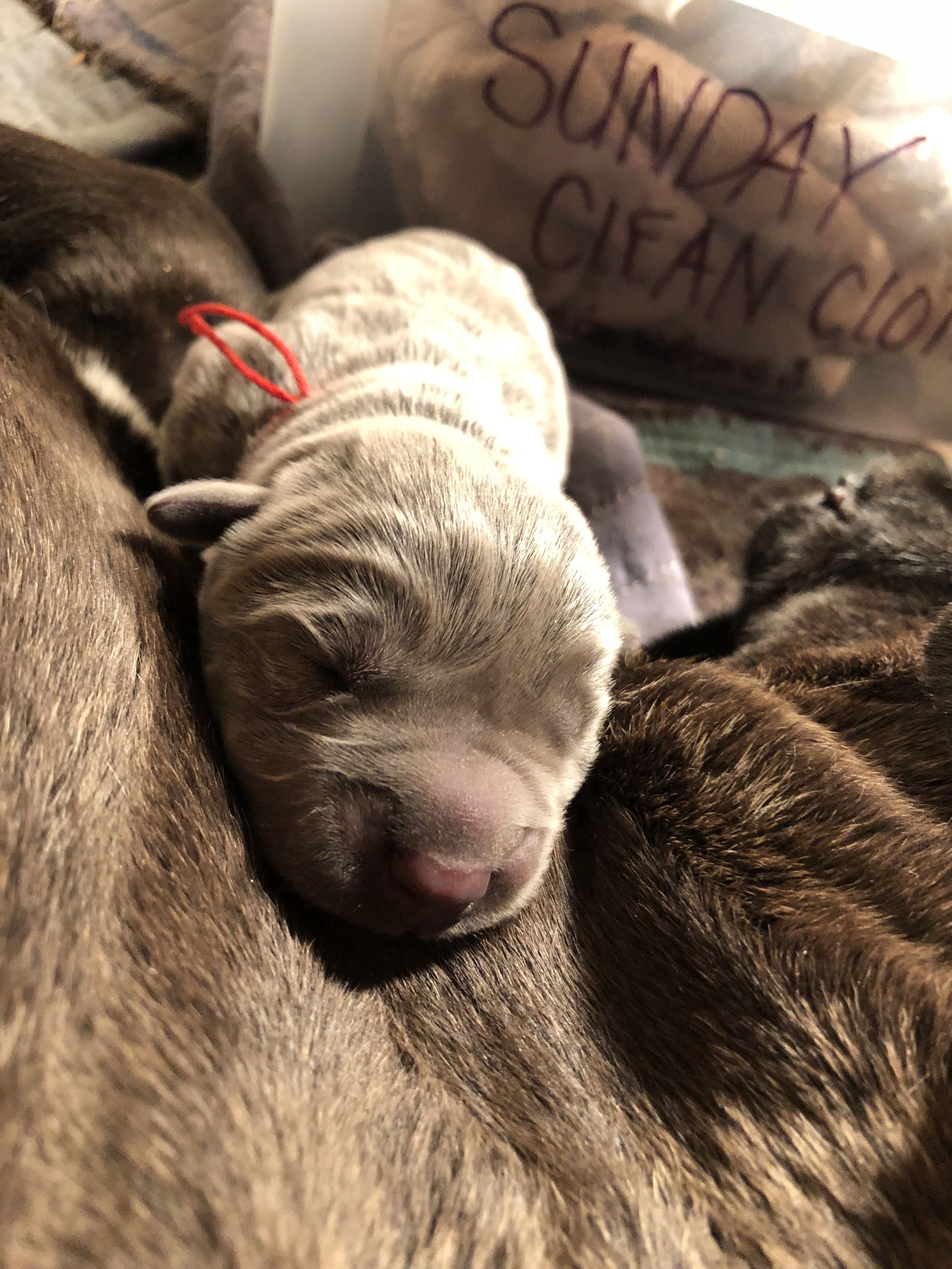Newborn Cane Corso Cane Corso Puppies Cane