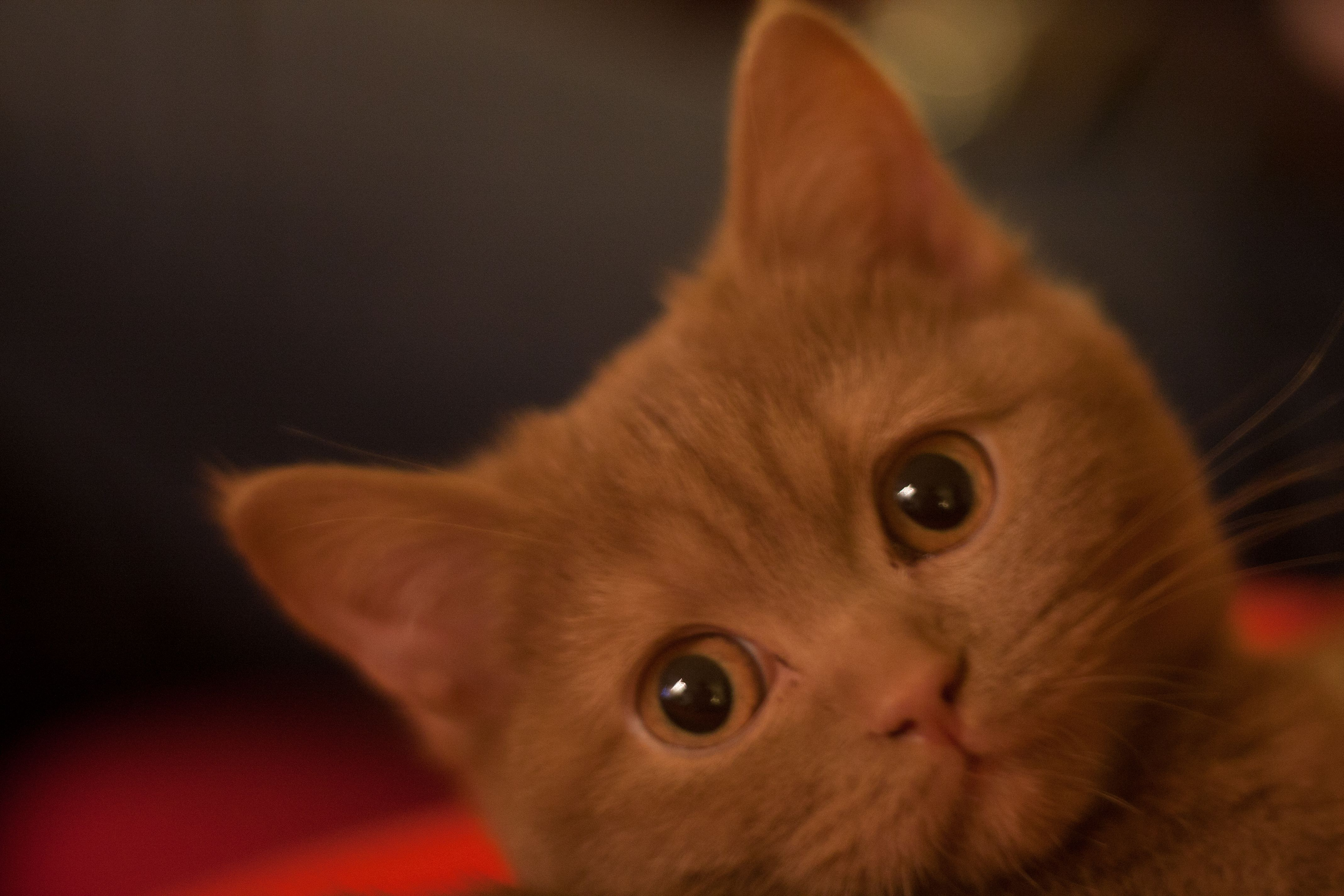 Juno British Shorthair Cinnamon British Shorthair Cats Feline