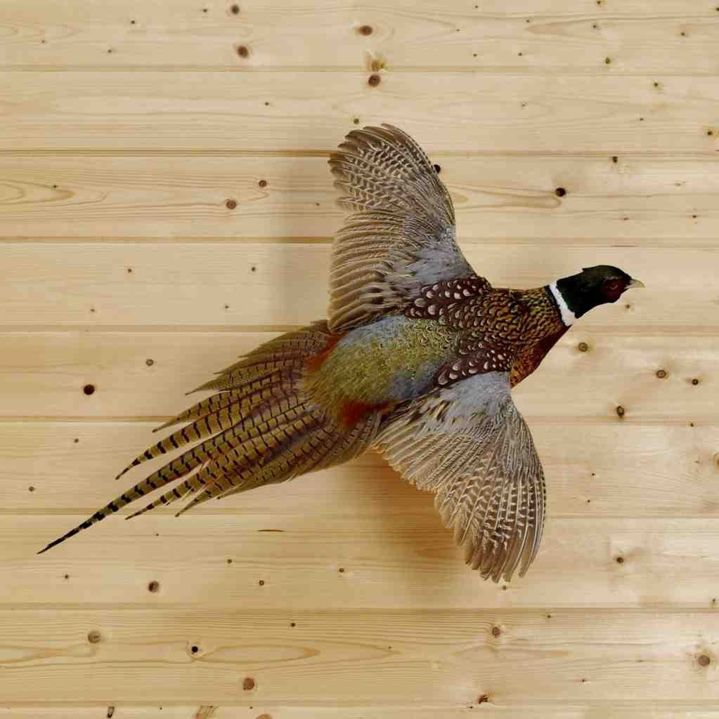 Flying Ringneck Pheasant Taxidermy Mount Sw4098 Turkeyhuntingmounts Taxidermy Bird Taxidermy Ring Necked Pheasant