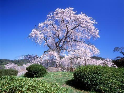 Weeping Cherry Tree Photographic Print Art Com Weeping Cherry Tree Cherry Tree Chinese Cherry Blossom