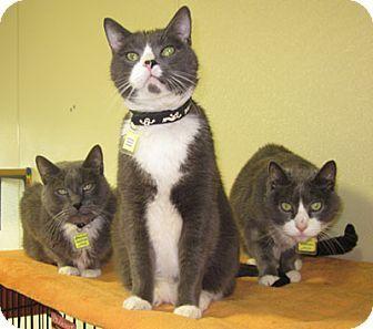 loki the vampire cat