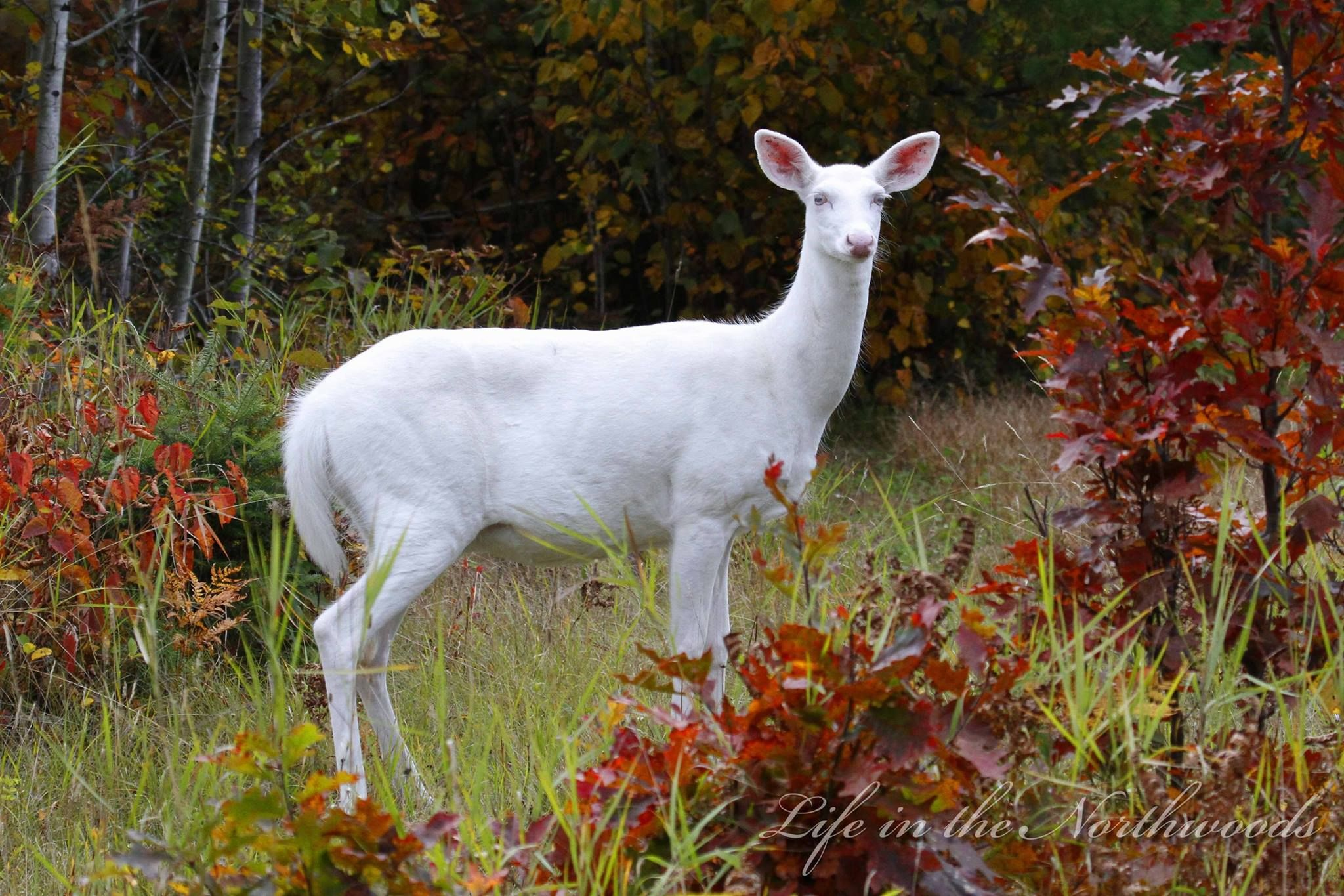 ALBINO WHITETAILED DEER - PHOTO BY MIKE CROWLEY