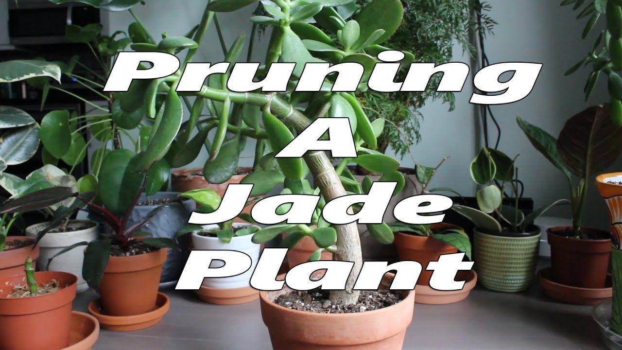 Jade Plant Pruning Jade Plant Pruning Jade Plant Pruning Pruningjade Jade Plants Jade Plant Pruning Plants