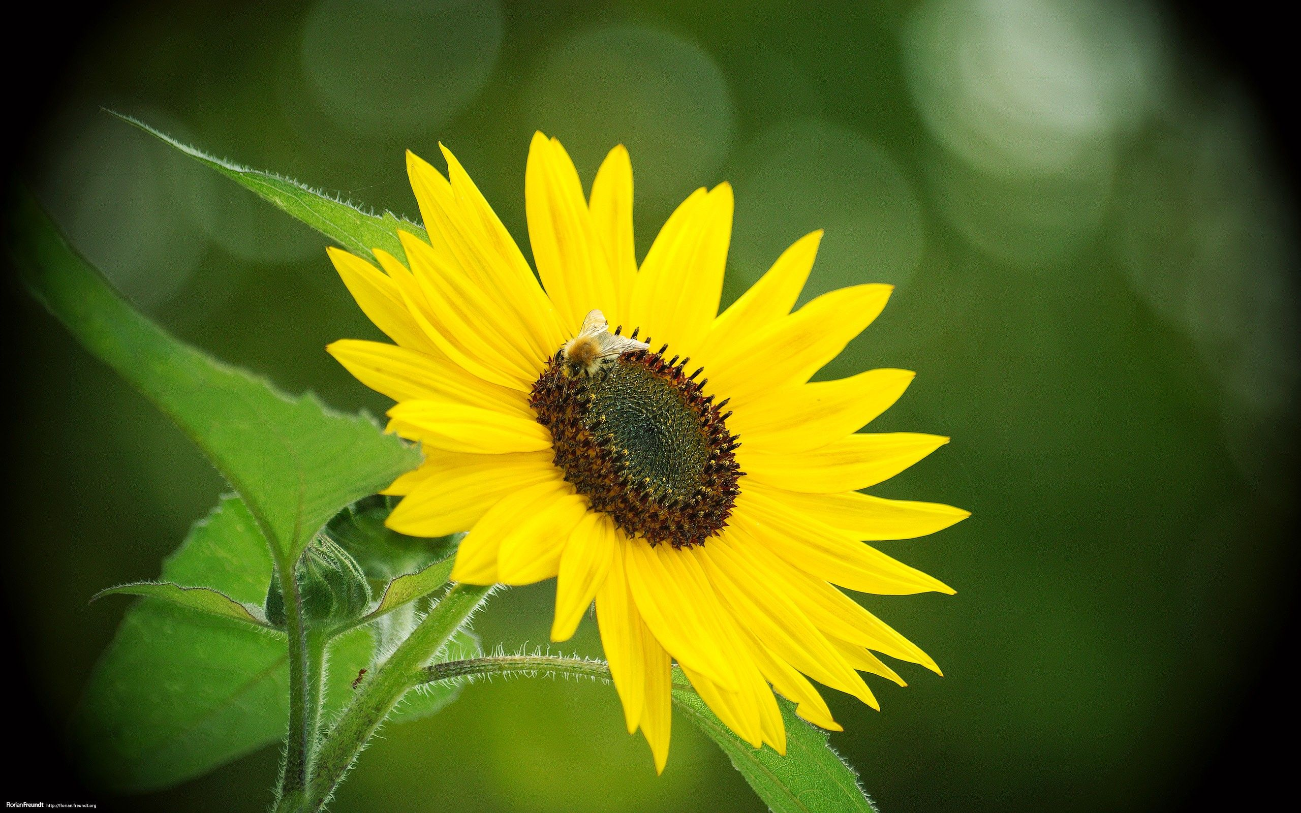 Awesome Sunflower Background In High Quality Sunflowers Background Sunflower Photo Sunflower