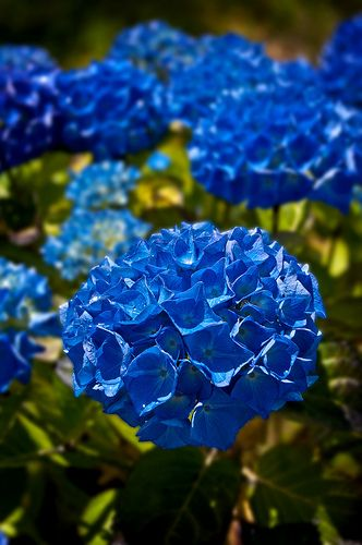 Blue Hydrangeas Wonderful Flowers Hydrangea Colors Amazing Flowers