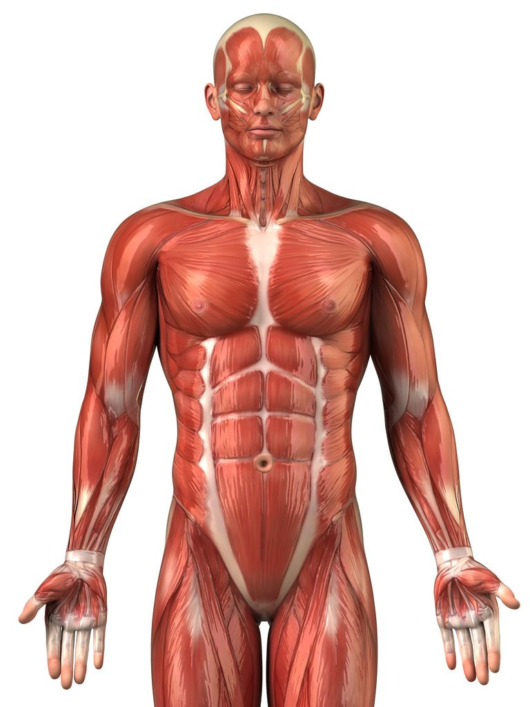 Anatomy and Physiology: The Muscular System-Axial Musculature (Front ...