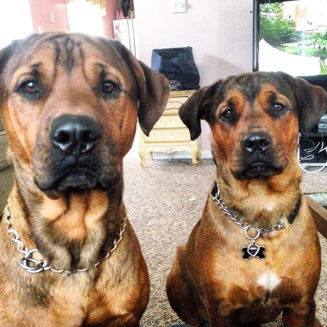 pitbull rottweiler lab brother sister cute puppies