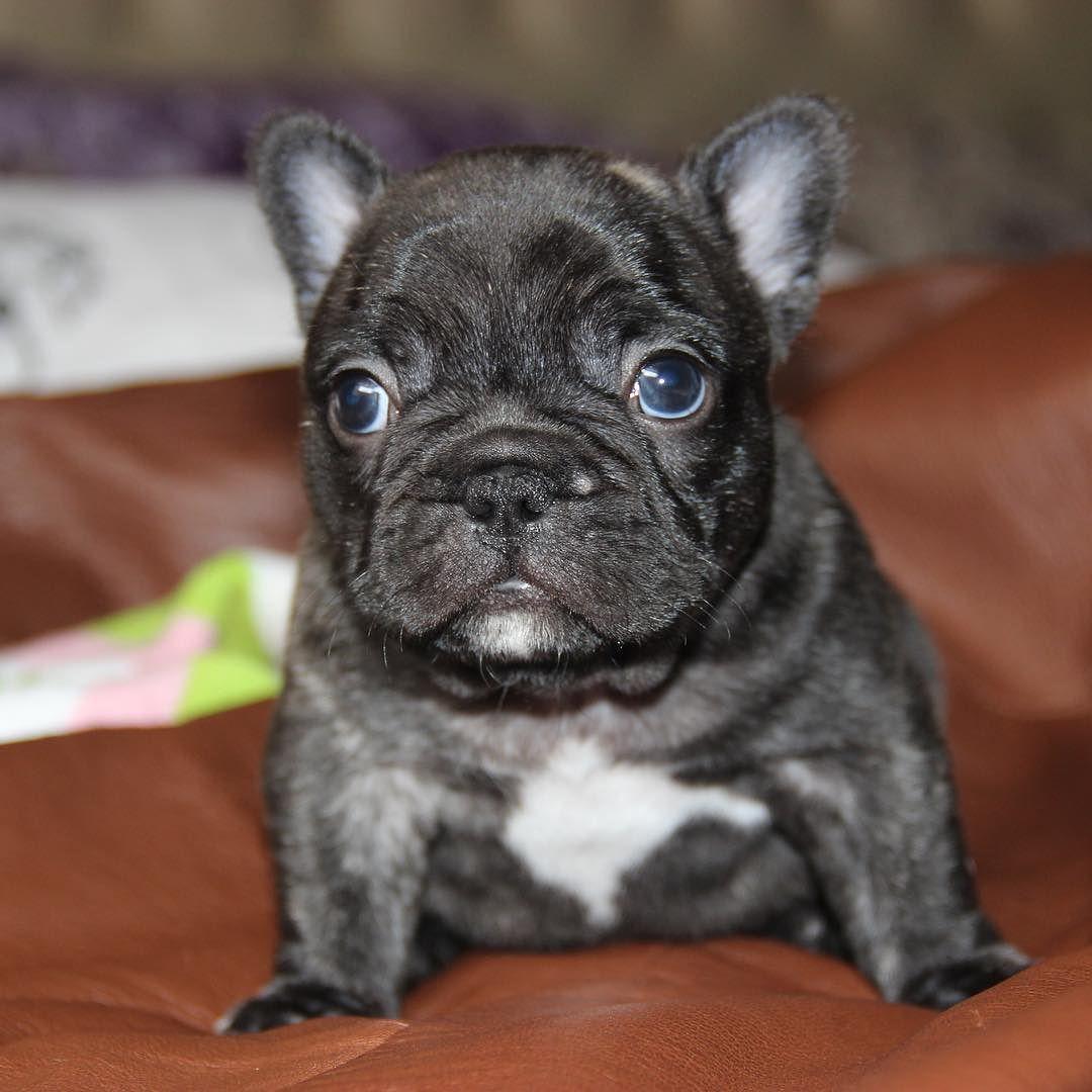 Unreal Cute Frenchbulldog By Jmarcoz French Bulldog French