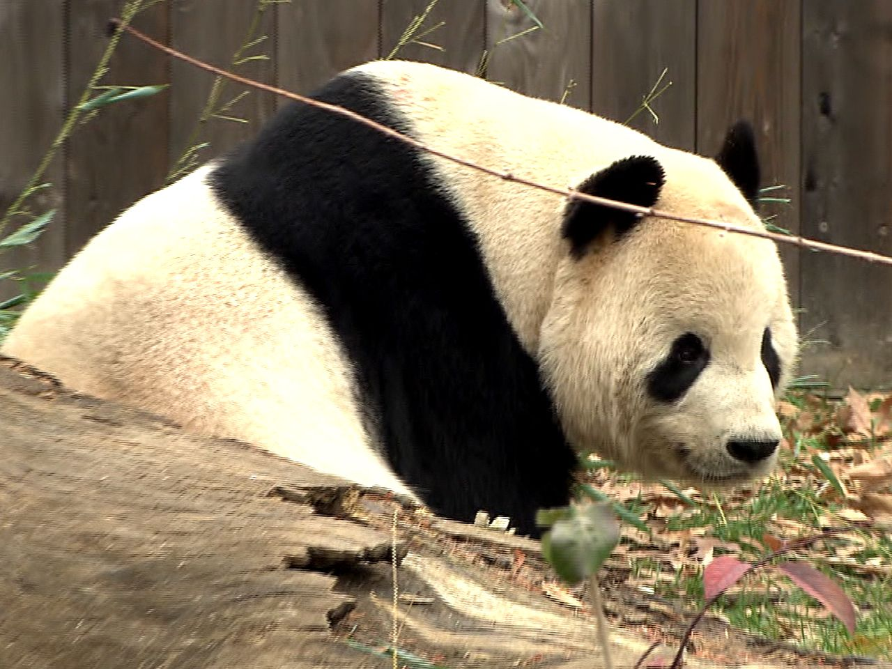Panda mourns loss of her baby at National Zoo