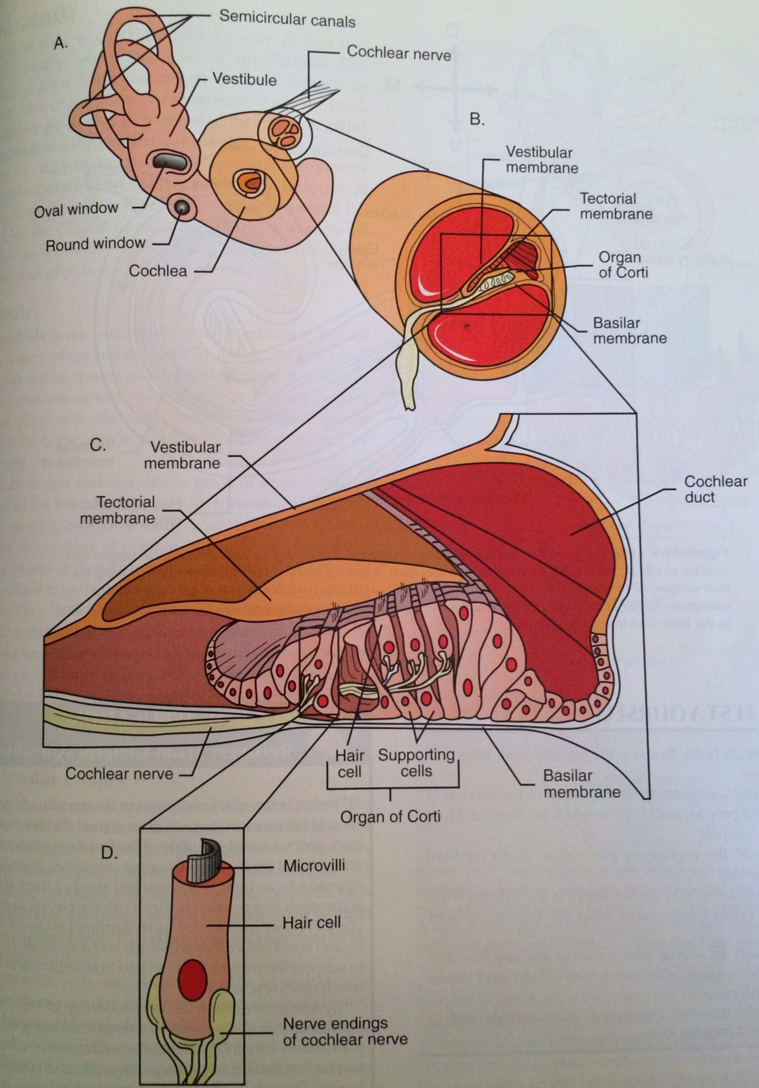 Inner Ear Structures
