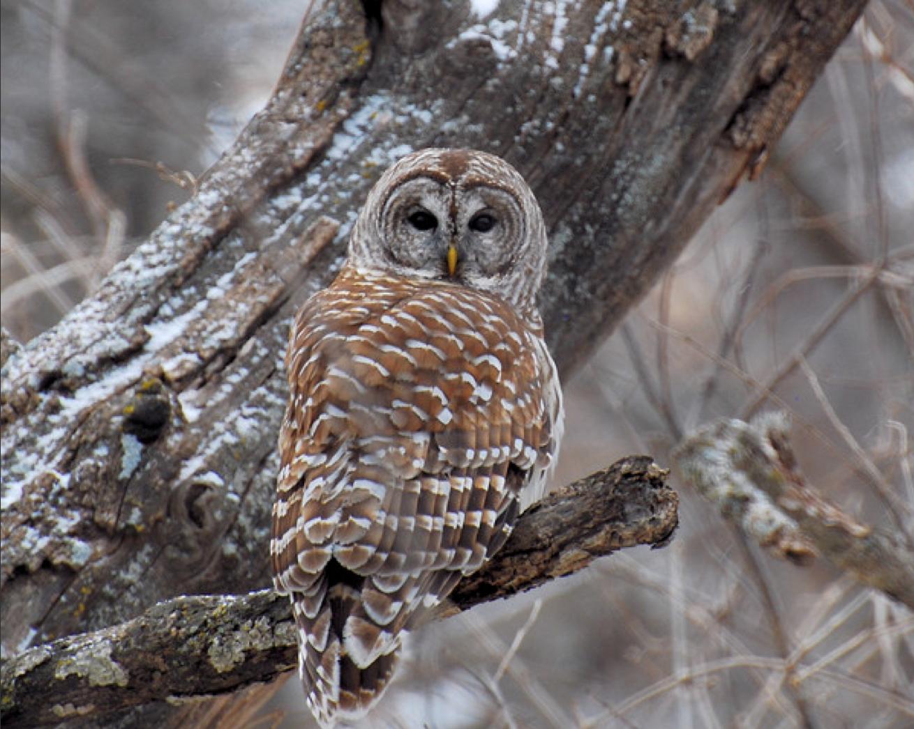 owl in tree zoeken uilen owl