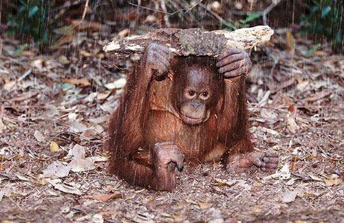 the orangutan the overlooked ape essay