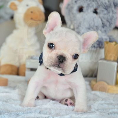 French Bulldog Puppies For Sale in Florida \| AKC French Bulldogs FL