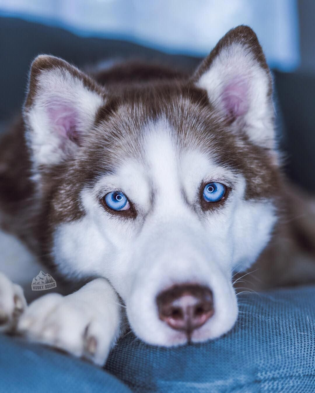 Pin By Johnna Hamilton On Puppies Siberian Husky Dog Cute Dogs